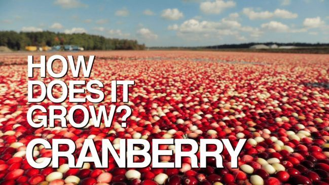 Learn How Cranberries Grow