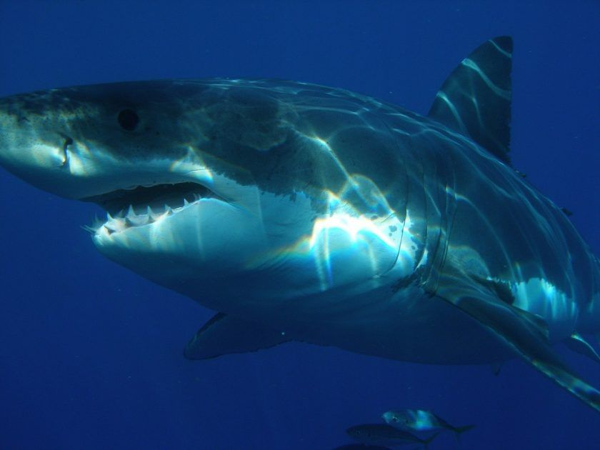 A (Safe) Encounter with a Great White Shark in 360°