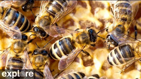Peek Inside a Honey Bee Hive – Explore.org LIVECAM