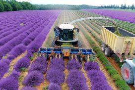 Lavender Harvest & Oil Distillation in France