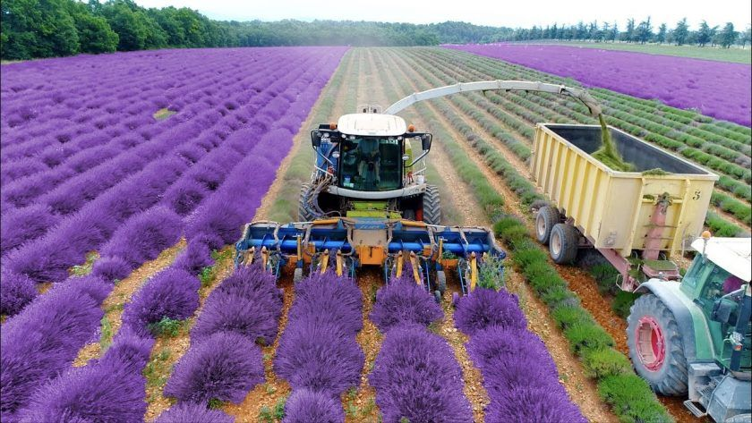 See Lavender Harvest & Oil Distillation in France