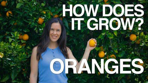 How Does An Orange Grow?