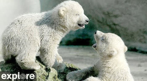 Watch the ADORABLE Polar Bear Cam – Explore.org LIVECAM