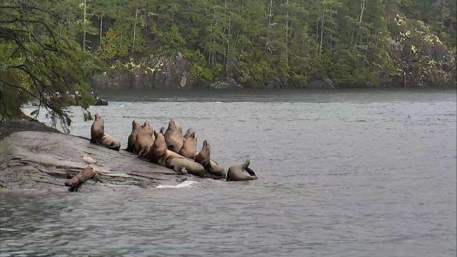 Sea Lion Beach at OrcaLab – Explore.org LIVECAM
