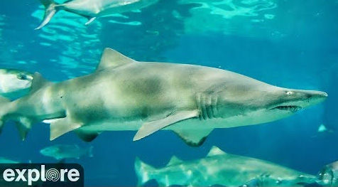 Live View: Sharks in the Atlantic at Cape Fear – Explore.org LIVECAM