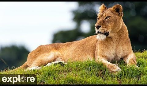 Nikita the Lioness – Explore.org LIVECAM