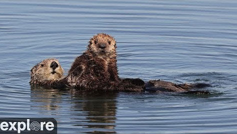 Sea Otters at Moss Landing – Explore.org LIVECAM