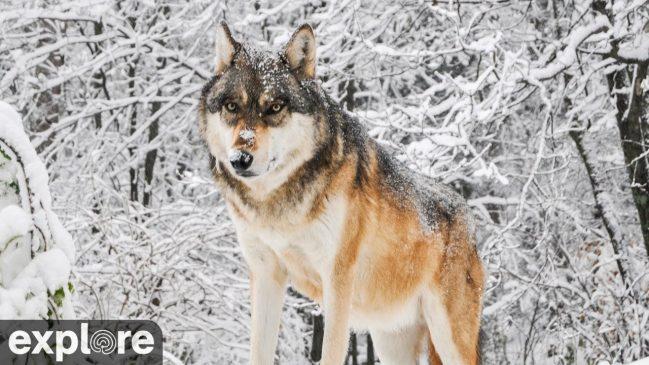 International Wolf Center South Camera – Explore.org LIVECAM
