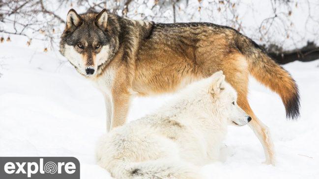 International Wolf Center North Camera – Explore.org LIVECAM