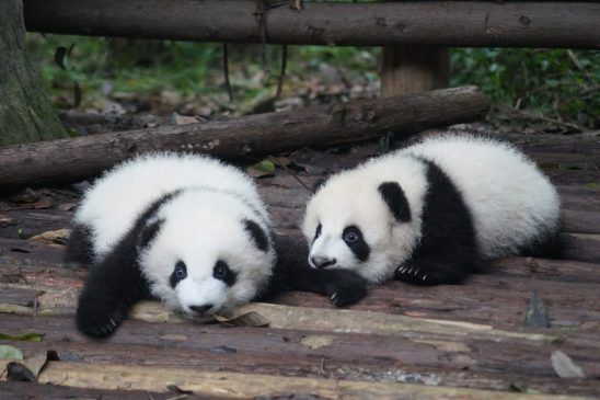 Welcome to the World, Baby Panda