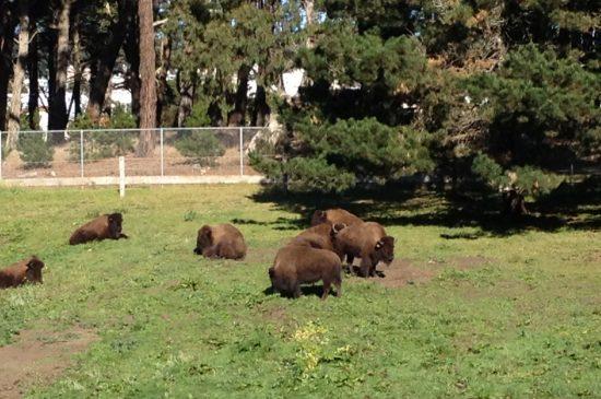 Bison Cam at Golden Gate Park