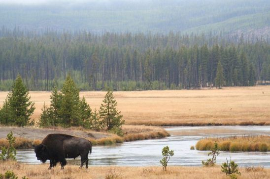 Bison Watering Hole – Explore.org LIVECAM