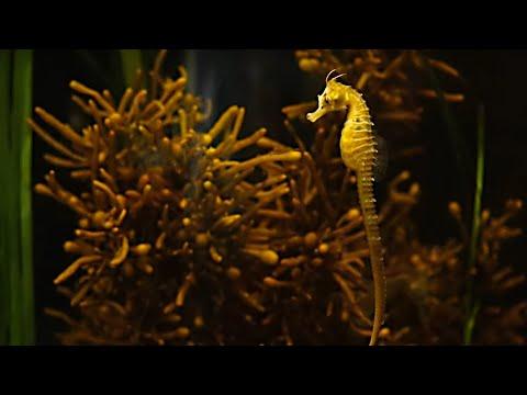 New Zealand Live Seahorse Cam