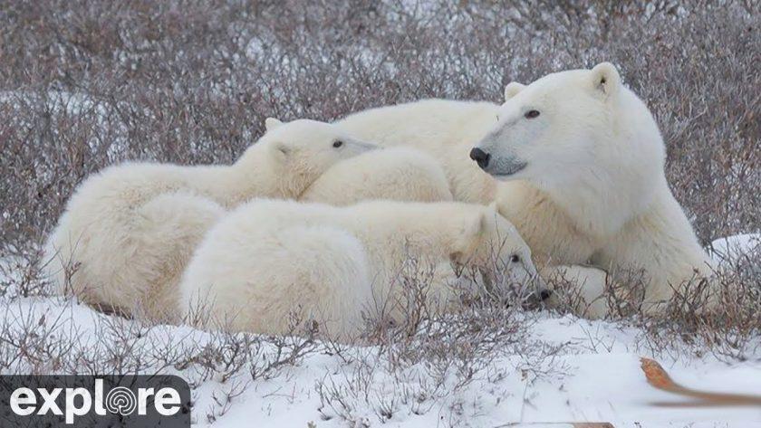 Polar Bear Tundra Buggy – Explore.org LIVECAM