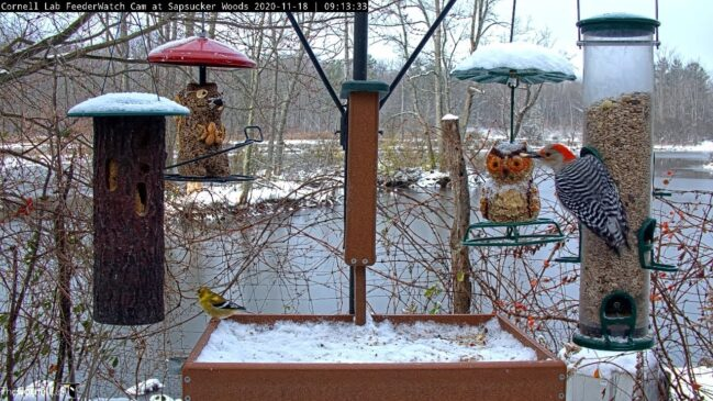 Cornell Bird Web Cam Highlights: Busy Morning On Snow Covered Feeders In Sapsucker Woods