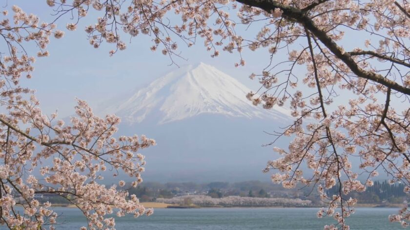 Peaceful Cherry Blossoms at Mount Fiji