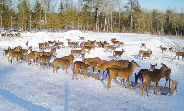 """Brownville's """"Food Pantry for Deer"""""""