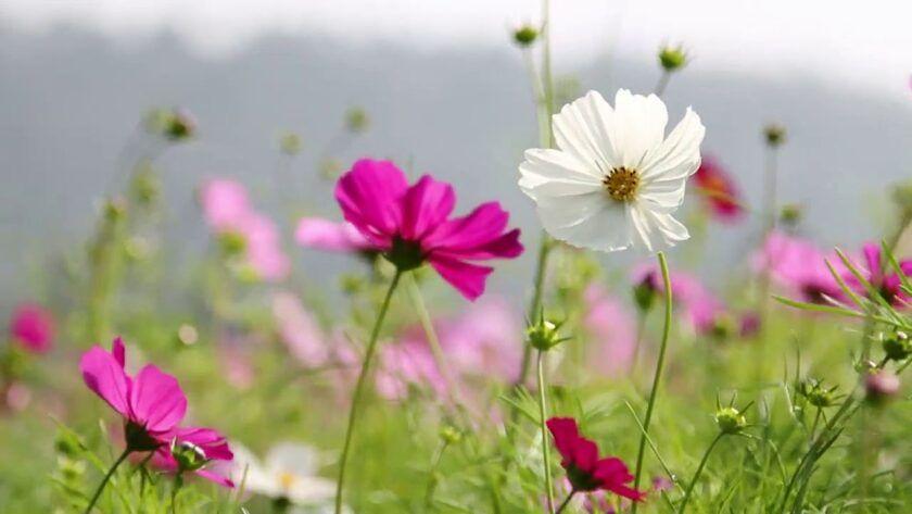 Field of Flowers in a Breeze