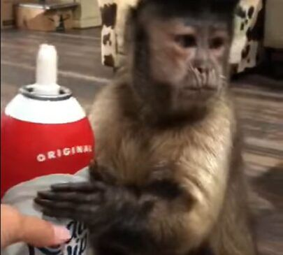 Adorable Animals: Capuchin Monkey LOVES Whipped Cream