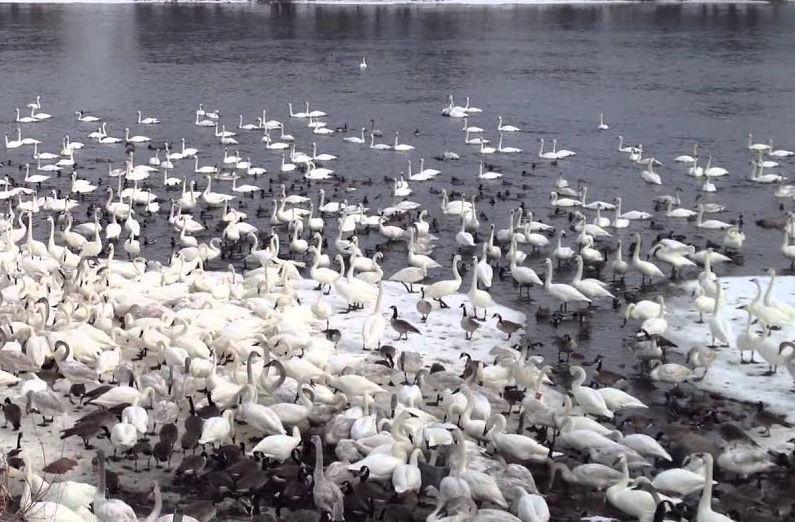 Trumpeter Swans in Swan Park