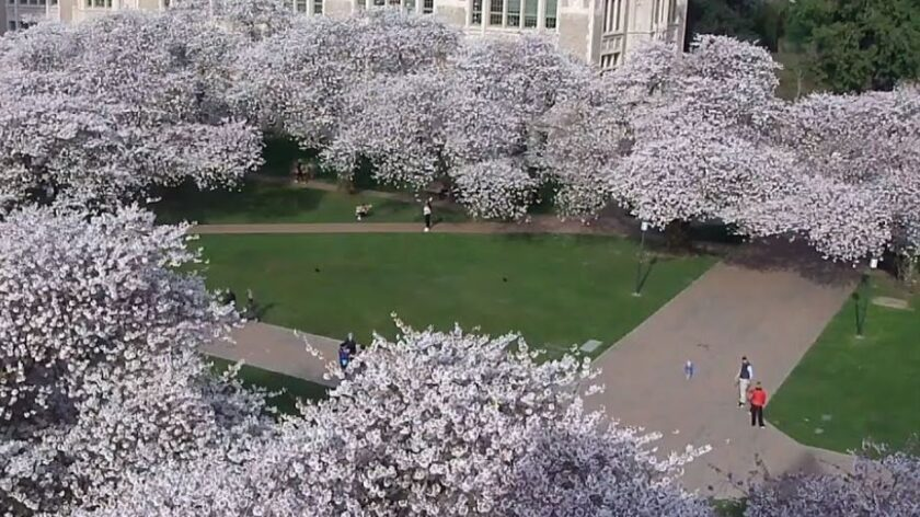 University of Washington Cherry Blossom Cam