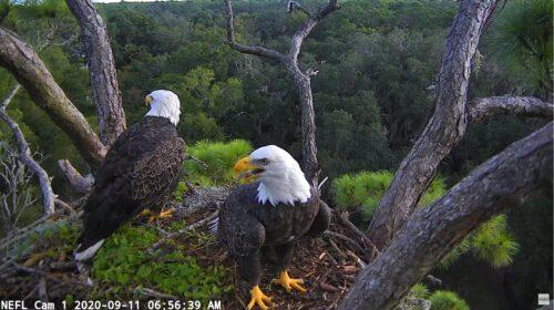 Live Bald Eagle Nest with Eaglet