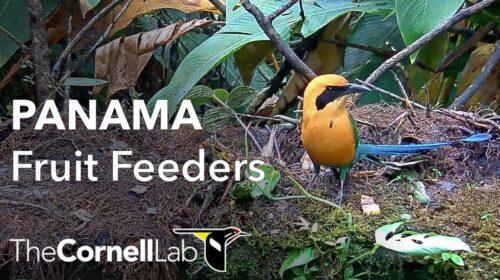 Live Birds: Panama Fruit Feeder Cam
