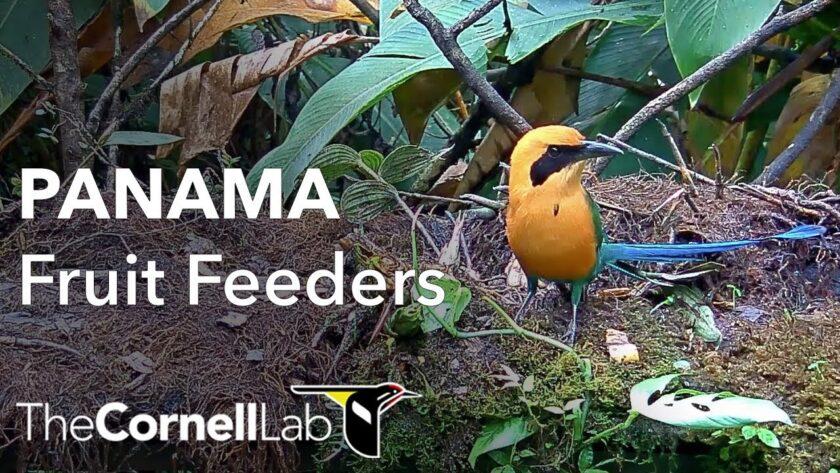 panama fruit feeder bird cam