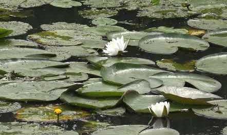 Lily Pond Peaceful Meditation