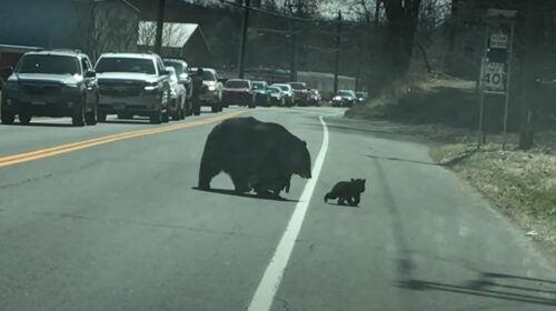Adorable Animals: Mama Bear Struggles To Get Cubs Across Street