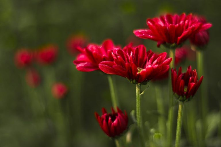 Little Red Flowers – Fine Art Floral Photograph in Museum-Quality Limited Edition Archival Pigment Prints (Canvas/Matte Paper)