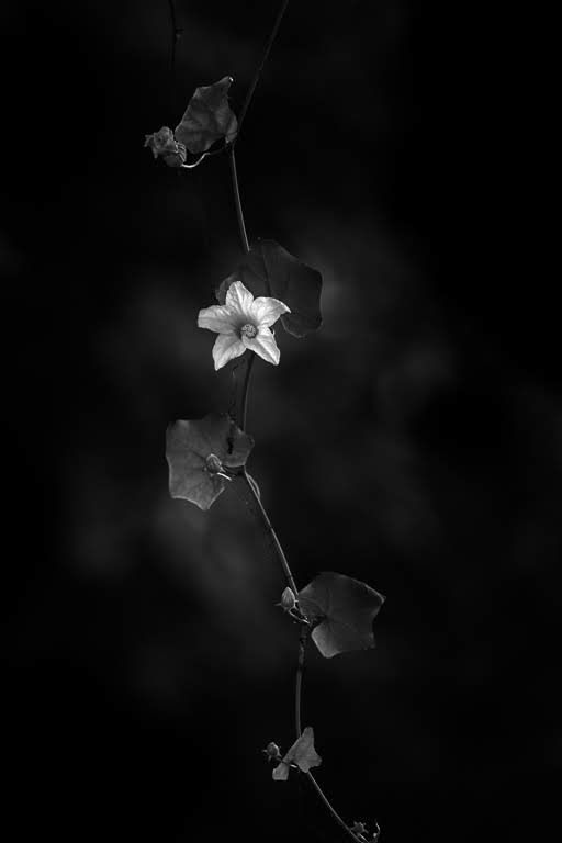 Wild Flower – Black & White Floral Photography Artwork in Limited Edition Pigment Prints (Matte Paper)