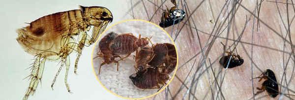 Flea Control Melbourne - Pest Control In Melbourne 3000