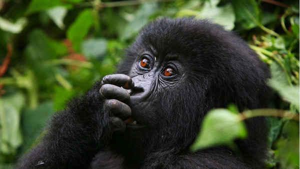 Friendly Gorillas Safaris - Tours In Pyrmont 2009