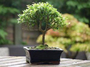 bonsai e
