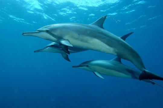 Golfinhos em Noronha