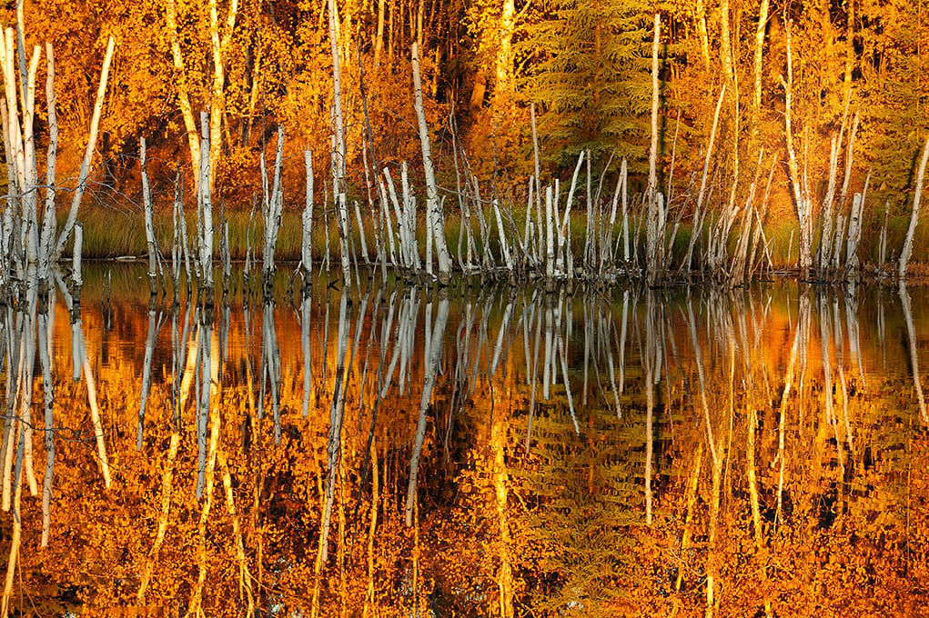 Fall Impression - A photo of bitch trees covered in orange fall foliage reflected in the water