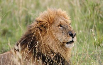 Pictures from the Mara day 1 - Lion