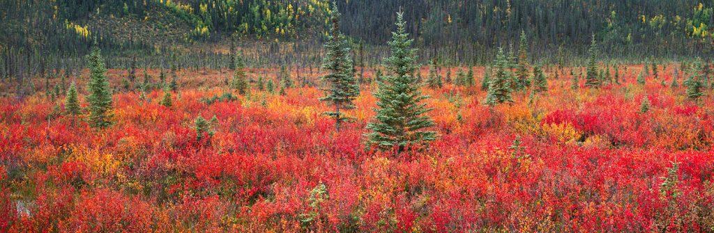 Steven Friedman Dwarf-Birch-and-Black-Spruce-Trees