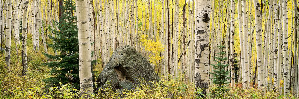 Steven Friedman Rock-and-Aspen-Forest