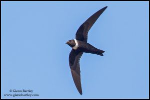 White-collared Swift (Streptoprocne zonaris)