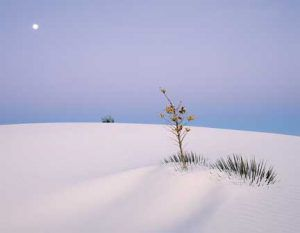 Sand-Moon Bush, White Sands - Michael Reichmann