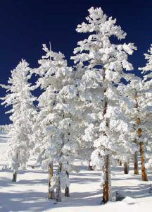 Snow-Clad-Trees-Michael Reichmann