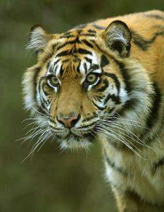 Tiger - Michael Reichmann
