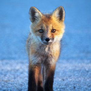 Fox walking towards camera - Peter Baumgarten