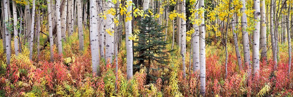 Steven Friedman Autumn-Fireweed-and-Aspens