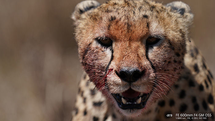 Cheetah up close taken with Sony FE 600mm super telephoto Lenses