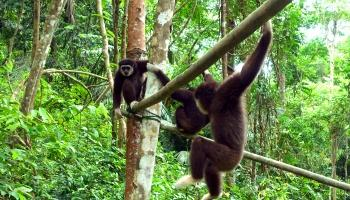 Keeping gibbons as pets? Not something to ape
