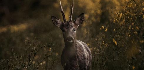 Jagd auf Rehwild