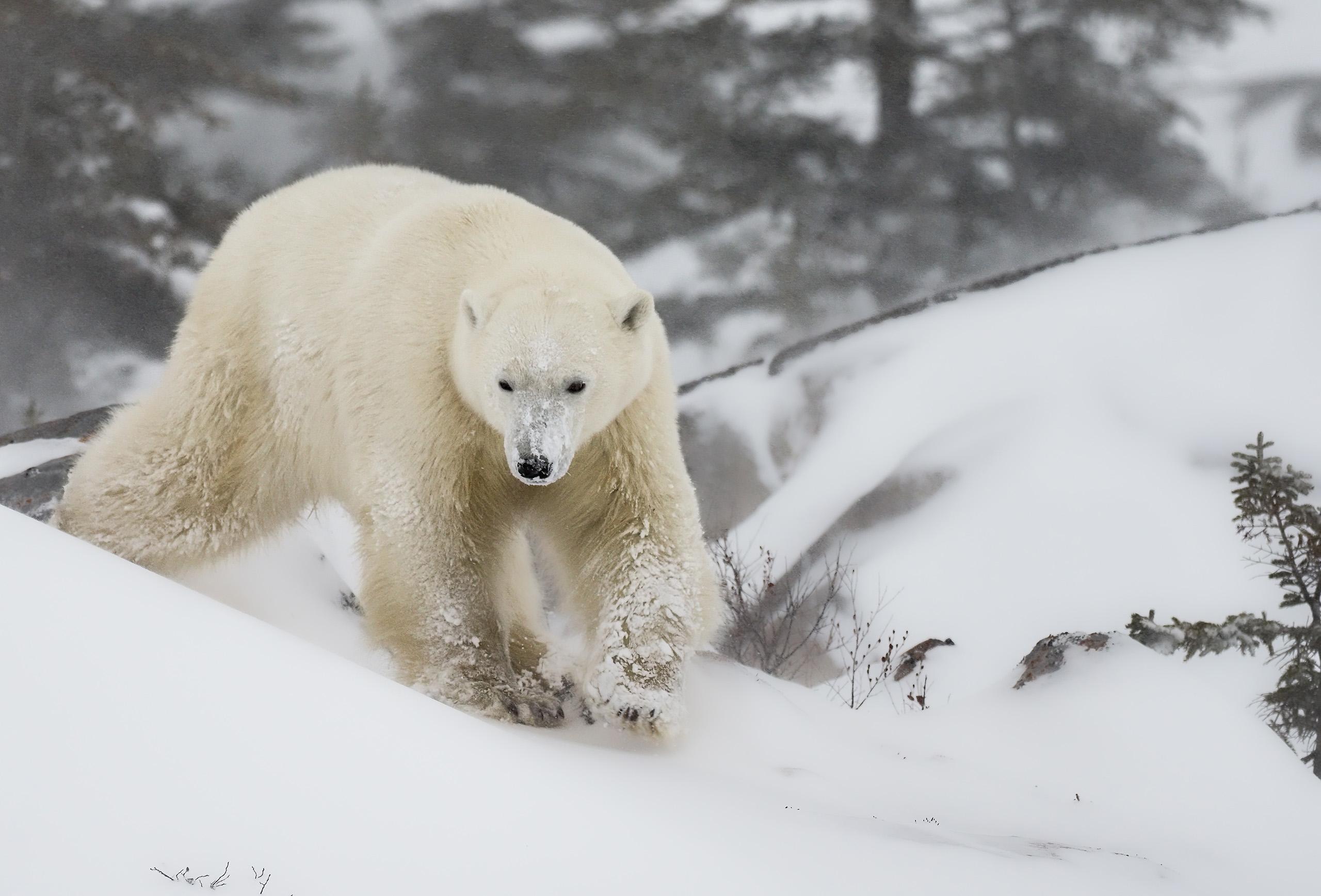 Polar bear walking through snow, photographed using Olympus OM-D E-M1 Mk III + M.Zuiko Digital ED 300mm f4 PRO lens